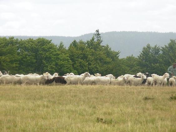 mouton10.jpg