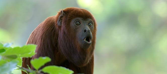 Copyright © 2017 - Sitemap - Contactez Zanimo: http://zanimo.xyz/faune-singe-hurleur.html