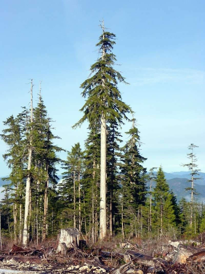 Alaska Yellow Cedar Page 2