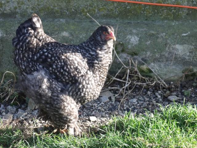 poule brahma coucou