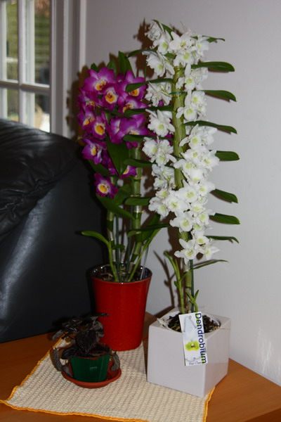 orchidee tige