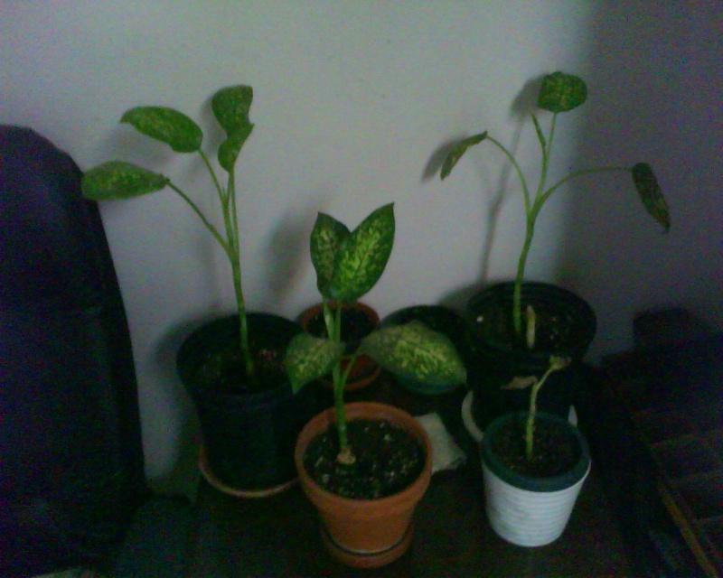Mon dieffenbachia perd ses feuilles - Mon olivier perd ses feuilles ...