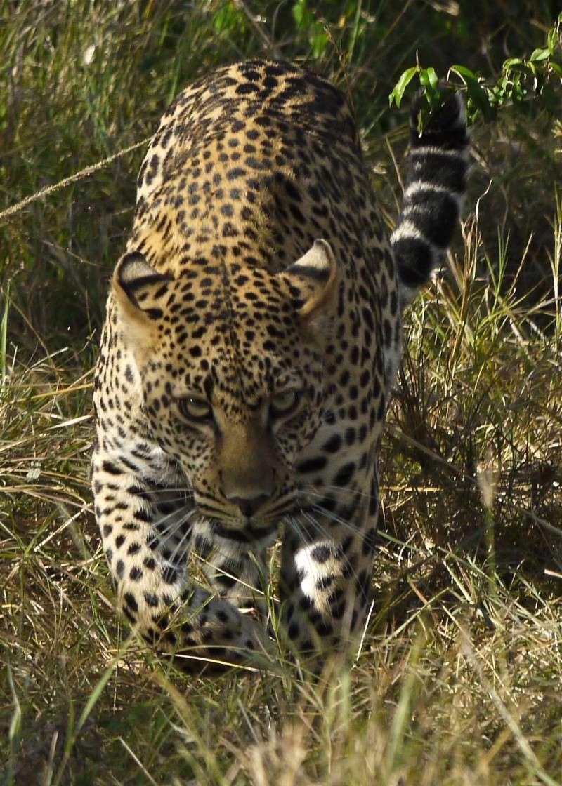 A Leopard S Tale Part 2 Dec 2012