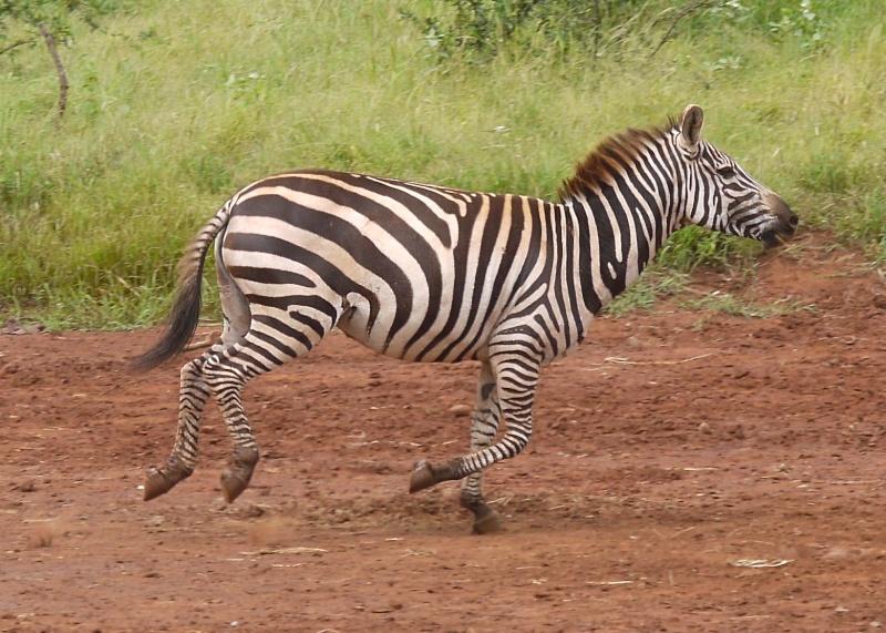 zebra running - photo #11
