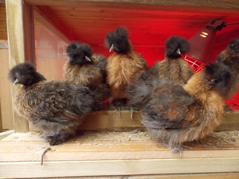 poule soie grande race non barbue