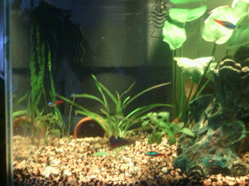avoir plusieurs combattants dans un seul aquarium. Black Bedroom Furniture Sets. Home Design Ideas