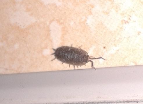 Identification d 39 un insecte - Insecte vert volant ...